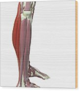 Gastrocnemius And Soleus Muscle Wood Print