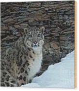 Gaze Of The Snow Leopard Wood Print