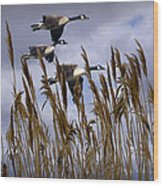 Geese Coming In For A Landing Wood Print