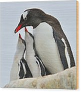 Gentoo Feeding Time Wood Print by Tony Beck