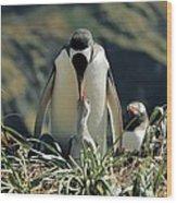 Gentoo Penguin Feeding Chick Wood Print