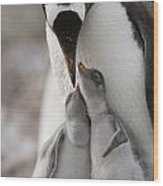 Gentoo Penguin Feeding Its Two Chicks Wood Print by Tom Murphy