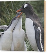 Gentoo Penguin Parent And Two Chicks Wood Print
