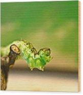 Geometrid Larvae 2 Wood Print
