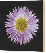 Gerber Daisy In Black Background Wood Print