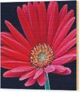 Gerbera Daisy 1 Wood Print
