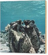 Giant Giant Clam Wood Print