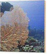 Giant Gorgonian Coral Wood Print