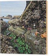 Giant Green Sea Anemone Anthopleura Wood Print