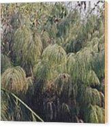 Giant Horsetail (hippuris Sp.) Wood Print