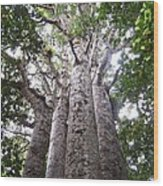 Giant Kauri Grove Wood Print