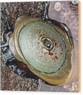Giant Keyhole Limpet Wood Print