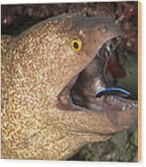 Giant Moray Eel And Cleaner Wrasse Wood Print