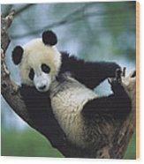 Giant Panda Cub Resting In A Tree Wood Print