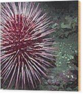 Giant Red Sea Urchin Wood Print