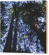 Giant Redwoods, Muir Woods, California Wood Print