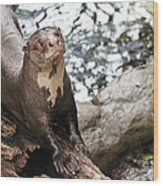 Giant River Otter Wood Print