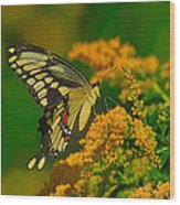 Giant Swallowtail On Goldenrod Wood Print