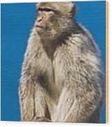 Gibraltar Barbary Macaque Macaca Wood Print