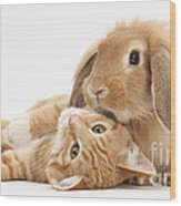 Ginger Kitten Lying With Sandy Lionhead Wood Print
