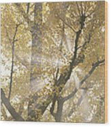 Ginkgo Tree With Sunlight Streaming Wood Print