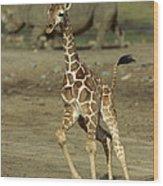 Giraffe Giraffa Camelopardalis Juvenile Wood Print