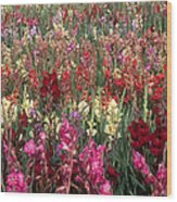 Gladioli Garden In Early Fall Wood Print