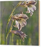Gladiolus Maculatus Flowers Wood Print