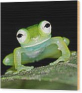 Glass Frog 01 Wood Print