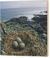 Glaucous-winged Gull Nest With Three Wood Print by Joel Sartore