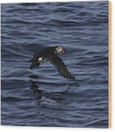 Gliding Puffin Wood Print