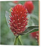 Globe Amaranth Wood Print