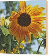 Glory Glory Sunflower Wood Print