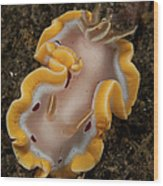Glossodoris Cruenta Nudibranch, North Wood Print