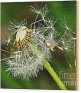 Glowing Dandelion Spores Wood Print