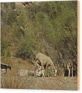 Goat Meeting In Spain Wood Print