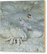 Goby With A Hermit Crab, Australia Wood Print