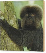 Goeldis Monkey Callimico Goeldii Wood Print