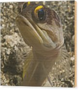 Gold-speck Jawfish Pouting, North Wood Print