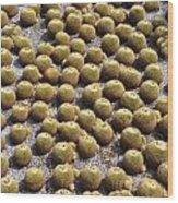 Golden Barrel Cactus 1 Wood Print