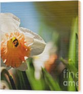 Golden Daffodils  Wood Print