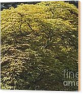 Golden Japanese Maple Wood Print