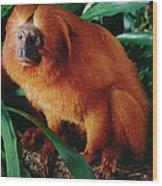 Golden Lion Tamarin Leontopithecus Wood Print