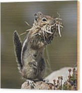 Golden-mantled Ground Squirrel Wood Print