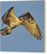 Golden Osprey In Dawn's Early Light Wood Print