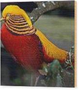 Golden Pheasant Posing Wood Print