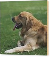 Golden Retriever Dog Laying In The Grass Wood Print
