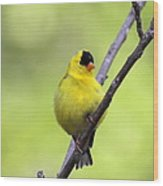 Goldfinch - All Puffed Up Wood Print
