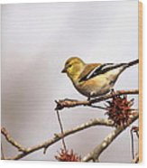 Goldfinch In Sweetgum Wood Print