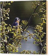 Good Morning Sunshine - Eastern Bluebird Wood Print